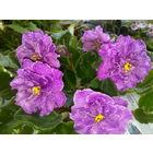 Фиалка темно-темно розовая, махровая, цветы СУПЕР крупные (5 - 6 см в диаметре)