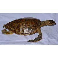 Чучело черепахи Мадагаскар
