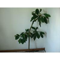 Комнатное растение взрослое