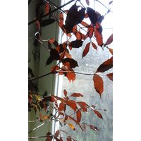Растение Лея