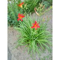 Лилейники - многолетние цветы с красивыми желтыми цветами.