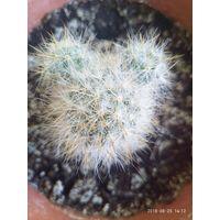 Побегоносная (Mammillaria prolifera)  с белыми иголками