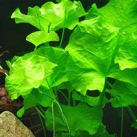 Аквариумные растения Нимфоидес Флиппер