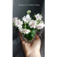 Фиалка мини Morgan's Drifter's Rose, лист