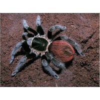 Brachypelma vagans паук-птицеед