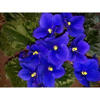 Фиалка сине-фиолетовая с темными цветками, очень обильное и продолжительное цветение - свежесрезанный листок