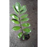 Растение ЗИМО