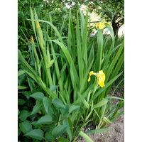 Многолетние цветы: ирисы жёлтые болотные, ирисы мелкие голубые и синие, лилейники желтые и красные