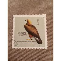 Польша. Птицы. Aquila Chrysaetos