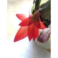 Шлюмбергера Черенок без корешков На фото - пример, материнское растение!