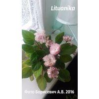 Фиалка Lituanika (укоренённый пасынок, фото в лоте)