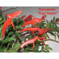 Колумнея Ред Робин(Red Robin)-черенок