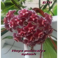 Хойя Hoya pubicalyx splash