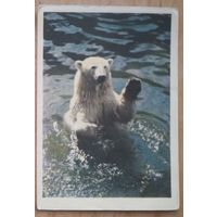 Игнатович Е. Белый медведь. 1963 г. Чистая.