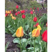 Тюльпаны желтые, красные, малиновые