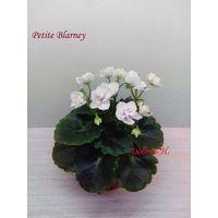 Фиалка мини Petite Blarney -  детка крупная (фото в лоте)