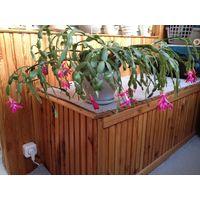 Комнатное растение цветущее в глиняном горшке