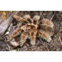 Паук-тицеед Brachypelma albopilosum молодь