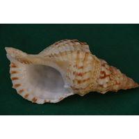 Морская раковина    ( высота 10 см , длинна  21 см )