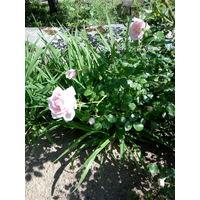 Роза - многолетний кустарник с красивыми розовыми цветами.
