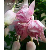 Фуксия Archie Owen укорененный черенок