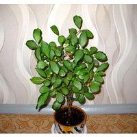 Фикус Дельтовидный вариегатный (Ficus Deltoidea var.)