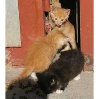 Котенок в дар, оплачу дальнейшую стерилизацию / кастрацию