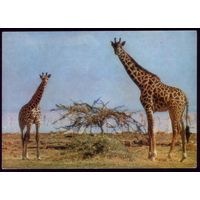 Германия Жирафы