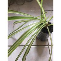 Хлорофитум вариегатный Молодое растение очищает воздух Полезное растение