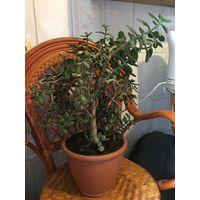 Толстянка красула в стиле бонсай Красивое взрослое растение более 10 лет