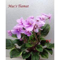 Фиалка Mac's Tiamat  - крупная детка  (фото в лоте)