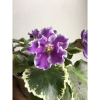 Фиалка НД-Первоклашка цветет