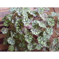 Бегония Бауэра Eyelash (Begonia bowerae) свежесрезанный лист