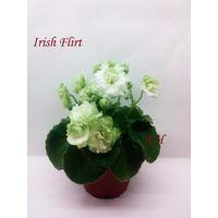 Фиалка мини Irish Flirt - розетка взрослая (фото в лоте)