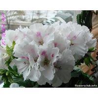 Пеларгония Lotus  - укорененный черенок
