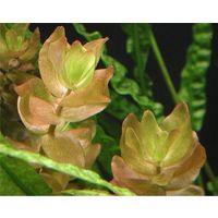 Аквариумные растения Бакопа Каролинская
