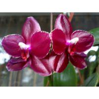 Орхидея фаленопсис Сого релекс
