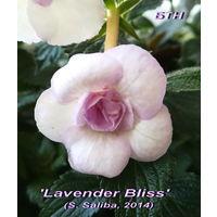 "Ахименес ""Lavender Bliss"" (S.Saliba, 2014)"