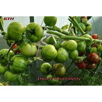 Семена томата Dwarf Sarandipity