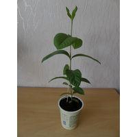 Экзотическое растение гуава.