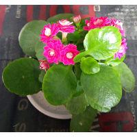 Каланхоэ цветущее, укоренённые черенки