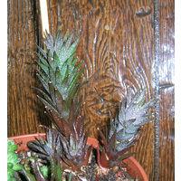 Суккулент хавортия Haworthia rubrobrunea