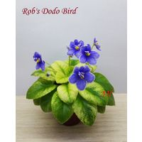 Фиалка мини Rob's Dodo Bird -  детка крупная