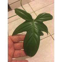 Филодендрон молодое растение