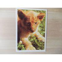 Календарик фауна львёнок 1990г