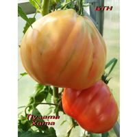 Семена томата Пузата Хата