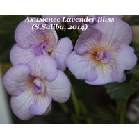 Ахименес Lavender Bliss  (S.Saliba, 2014)