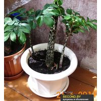 Очаровательное растение Amorphophallus konjac. Клубень.