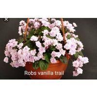 Фиалка Rob's vanilla trail, детка