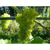 """Саженец винограда """"Vroege van der Laan"""""""